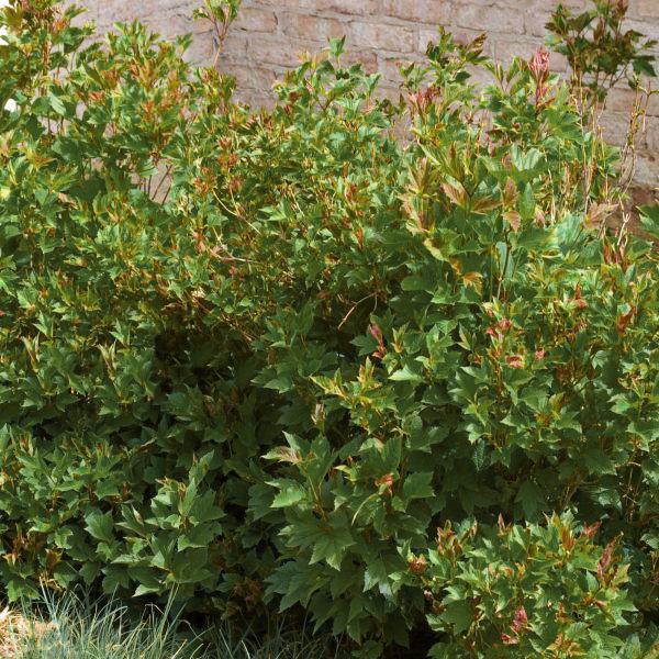 Dwarf European CranberrybushViburnum