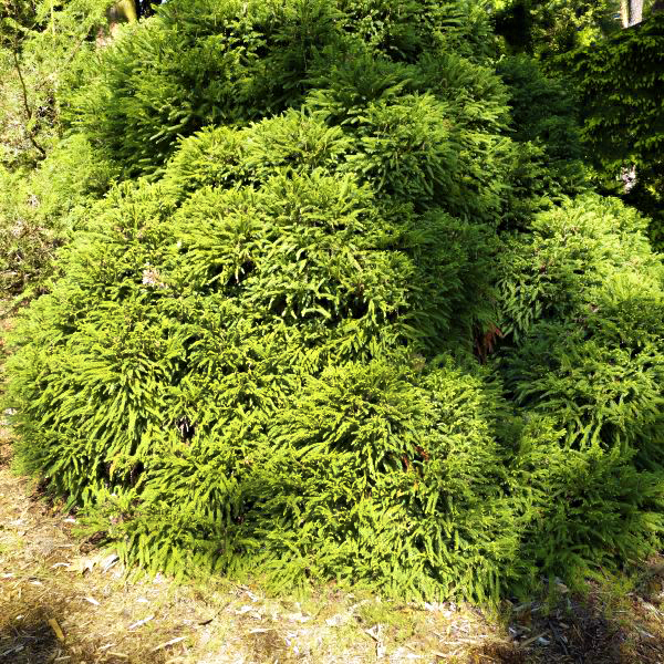 Dwarf Japanese Cedar