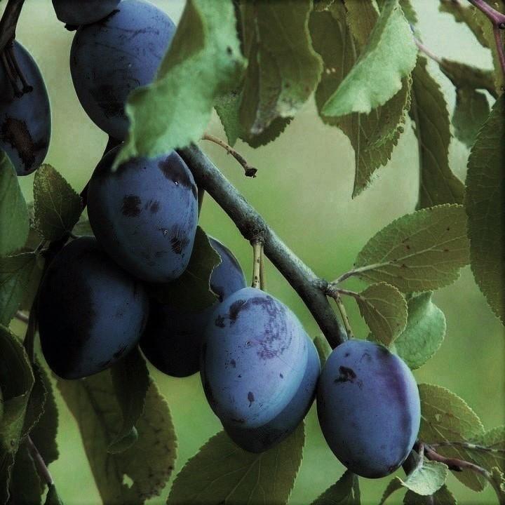 Early Italian Prune