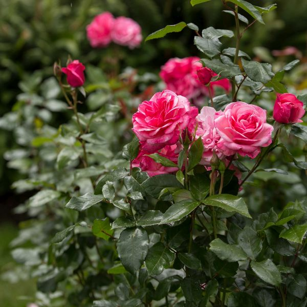 Easy Elegance Grandma's Blessing Shrub Rose