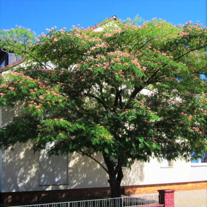 EH Wilson Mimosa Tree