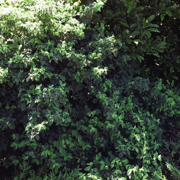 Emerald Mound Honeysuckle