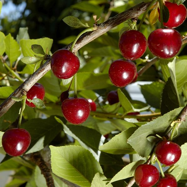 English MorelloCherry Tree