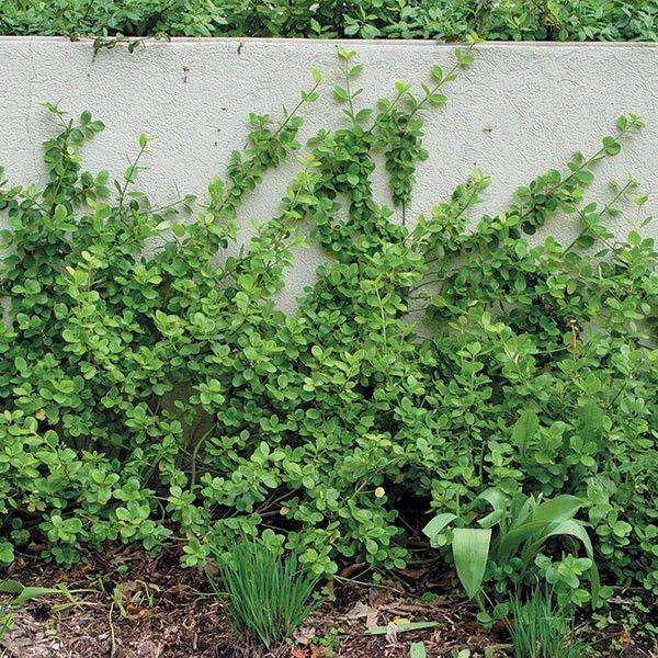 Euonymus Vegetus