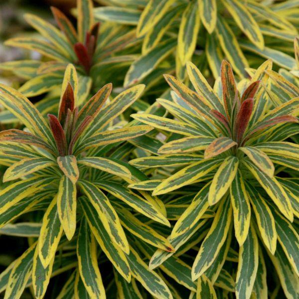 Ascot Rainbow Euphorbia