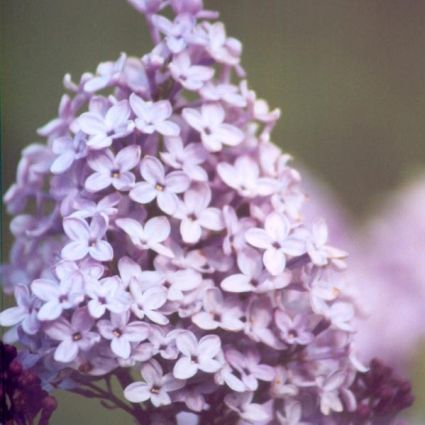 Evangeline Lilac