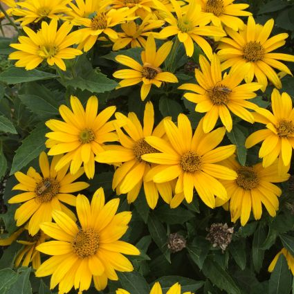 False Sunflower Tuscan Gold
