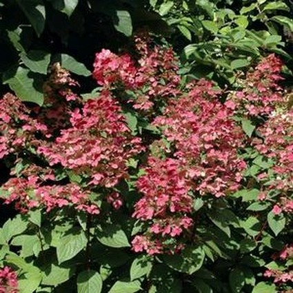 Fire and Ice Panicle Hydrangea Tree Form