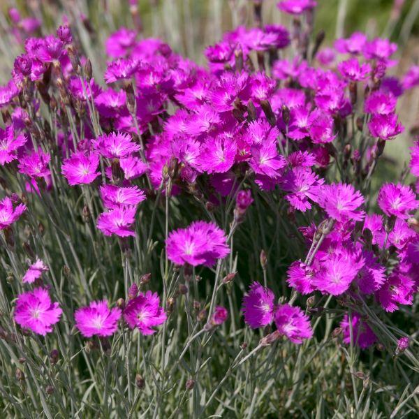 Pink red flowering perennials for sale nature hills nursery mightylinksfo