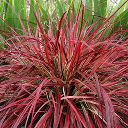 Ornamental Grasses For Sale Nature Hills Nursery