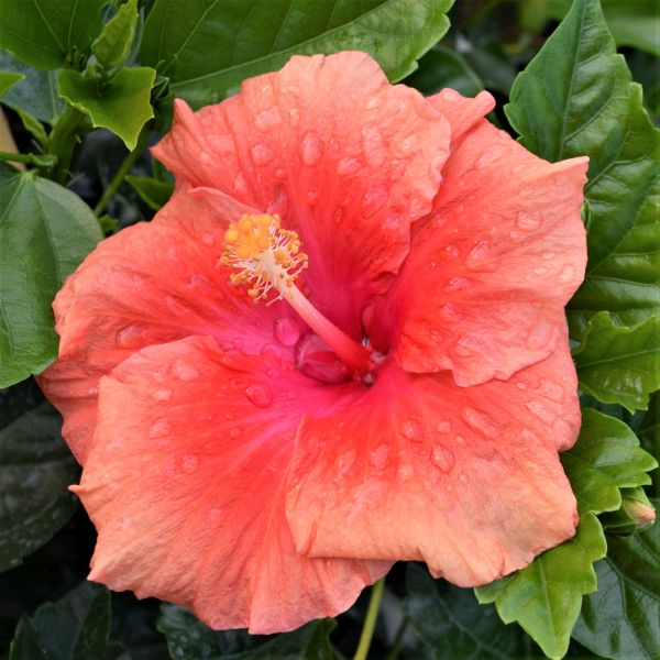 Hollywood™ Hibiscus First To Flirt™