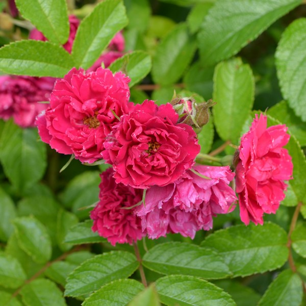 F. J. Grootendorst Hybrid Rugosa Rose