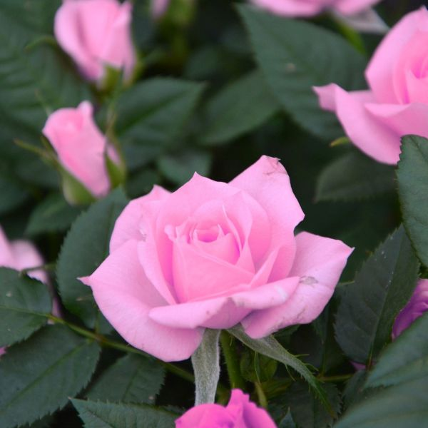 Bewitched Rose