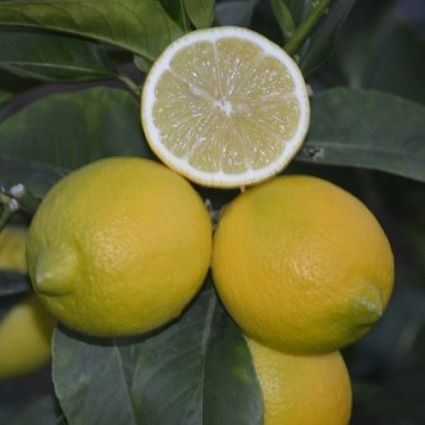 Genoa Lemon