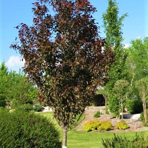 Gladiator Crabapple Tree