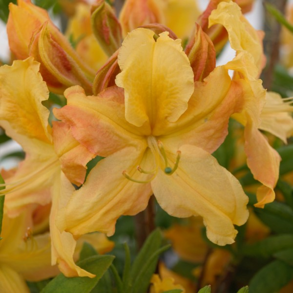 Golden Lights Azalea