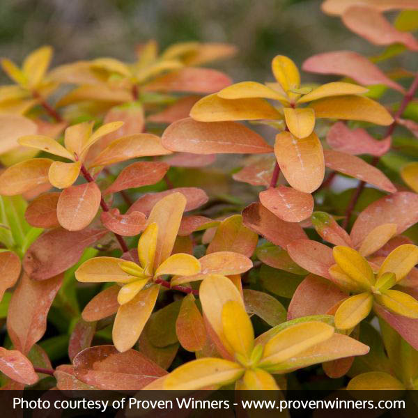 Golden Rule® St. John's Wort
