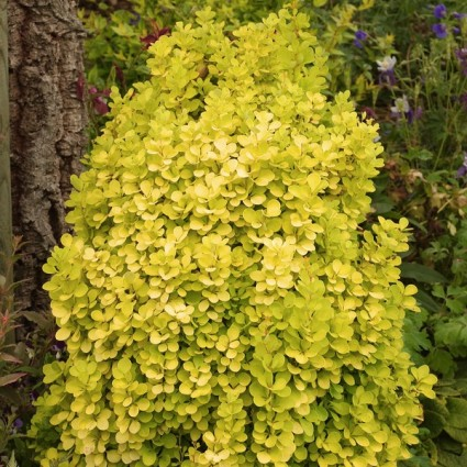 Golden Torch Barberry