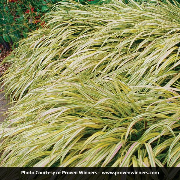 Golden Variegated Hakone Grass Image