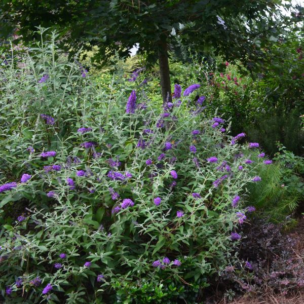 Groovy Grape Butterfly Bush