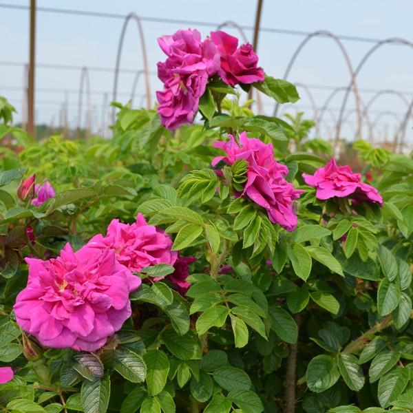 Hansa Hybrid Rugosa Rose