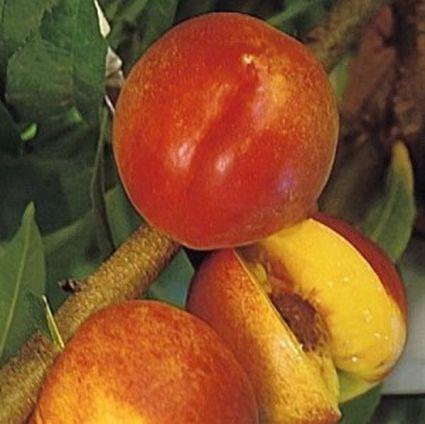 Harko Nectarine
