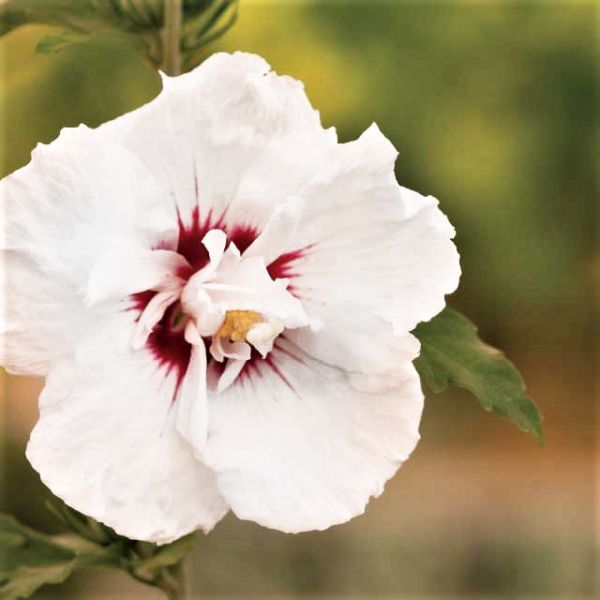 Bali Hibiscus Tree Form