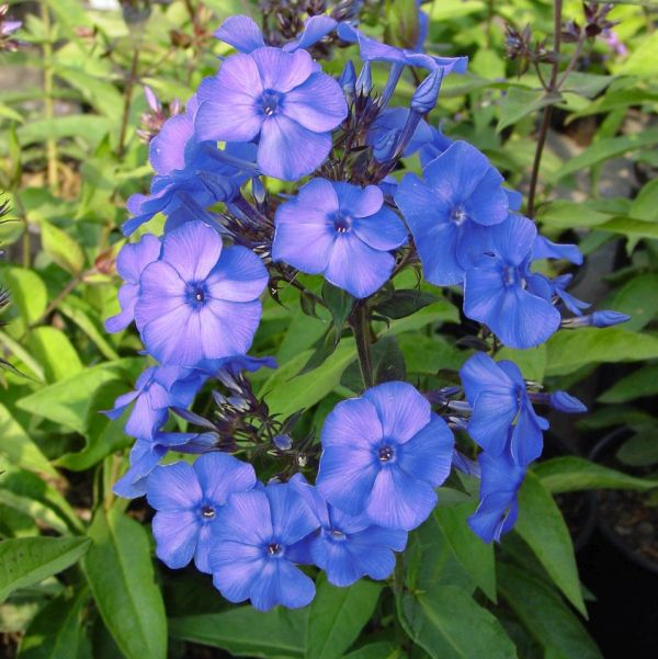 Blue Paradise Phlox