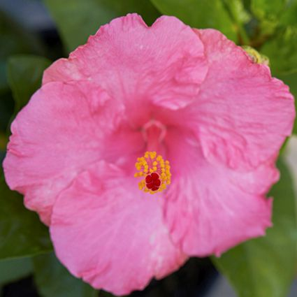 Hollywood™ Hibiscus Polly Jolly™