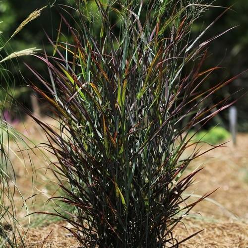 Hot Rod Switch Grass Image