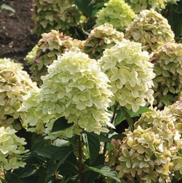 Magical Candle Hydrangea