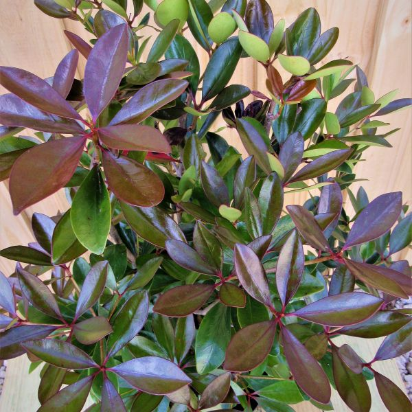 Japanese Curled Leaf Ligustrum