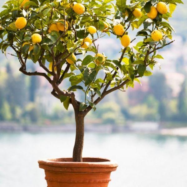 Improved Dwarf Meyer Lemon Trees