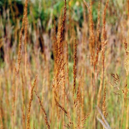 Image of Indian Grass