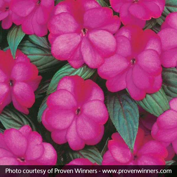 Infinity® Blushing Lilac Impatiens