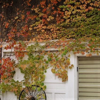 Ivy Engelman Virginia Creeper