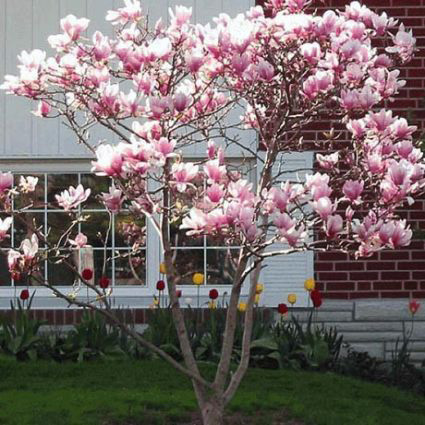 Buy The Best Magnolia Trees Online Largest Collection Of Magnolia