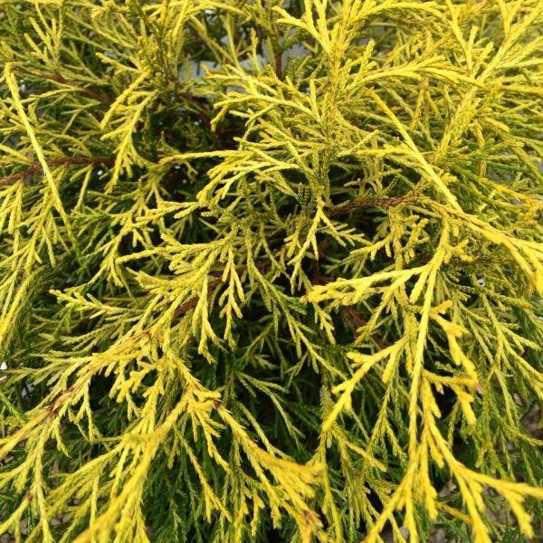Japanese Lemon Thread False Cypress