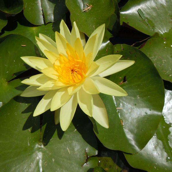 Joey Tomocik Water Lily