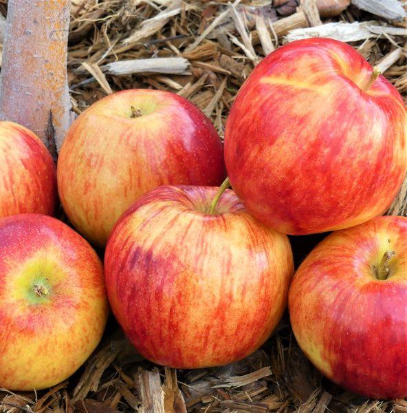 Jonagold Apple Tree