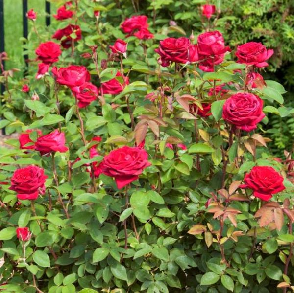 Easy Elegance® Kashmir Rose