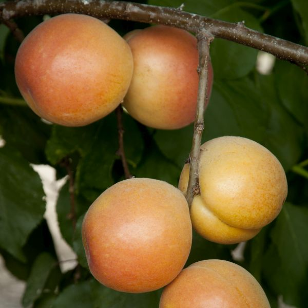 Royal Apricot Tree
