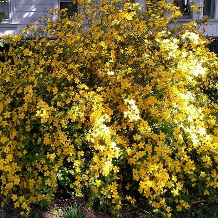 Yellow flowering shrubs for sale nature hills nursery mightylinksfo