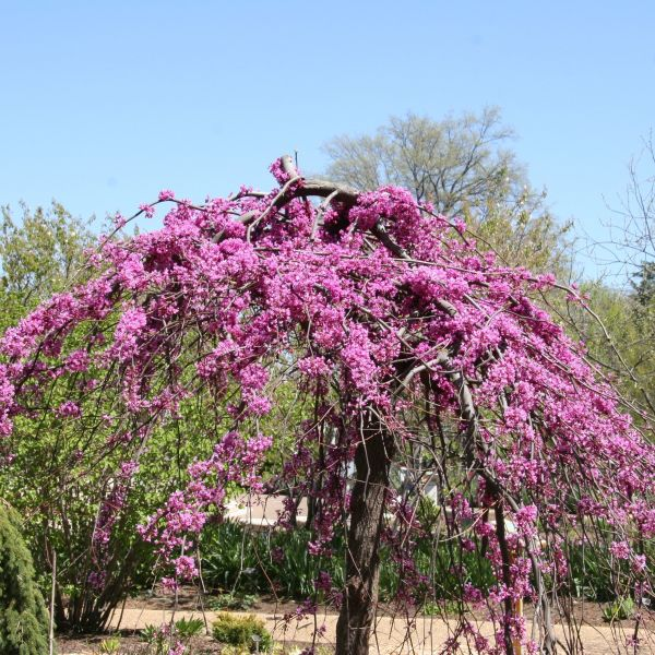 Container Trees Buy online at Nature Hills Nursery