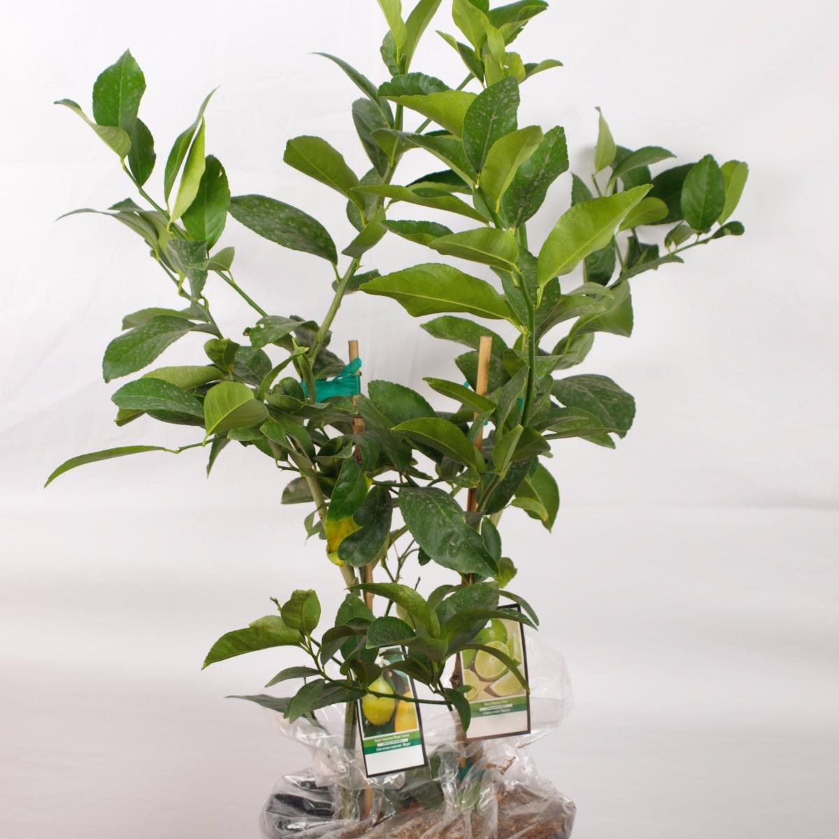 Lemon and Lime Tree 2n1