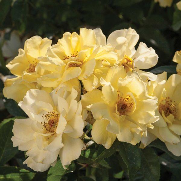 Image of Lemon Drift® Rose