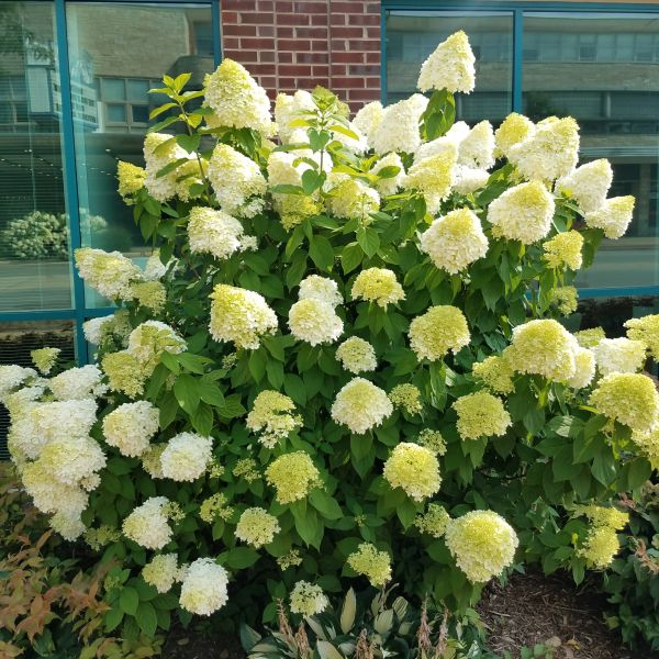 Limelight Hydrangea Buy At Nature Hills Nursery