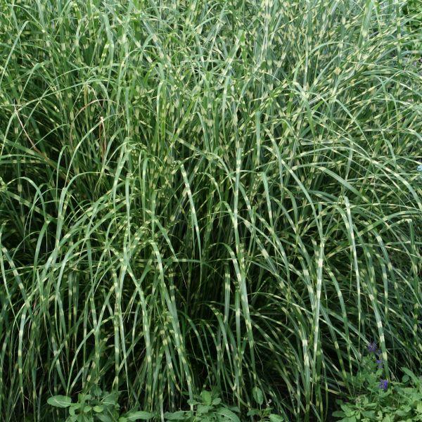 Little Zebra Maiden Grass