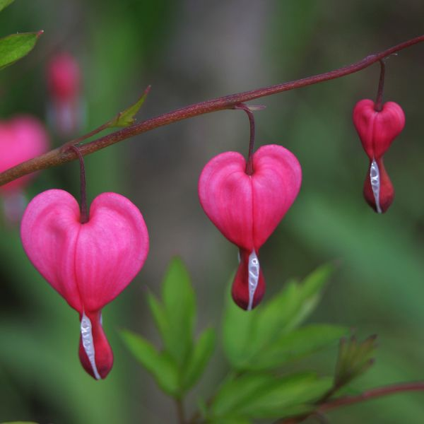 Luxuriant  Bleeding Heart