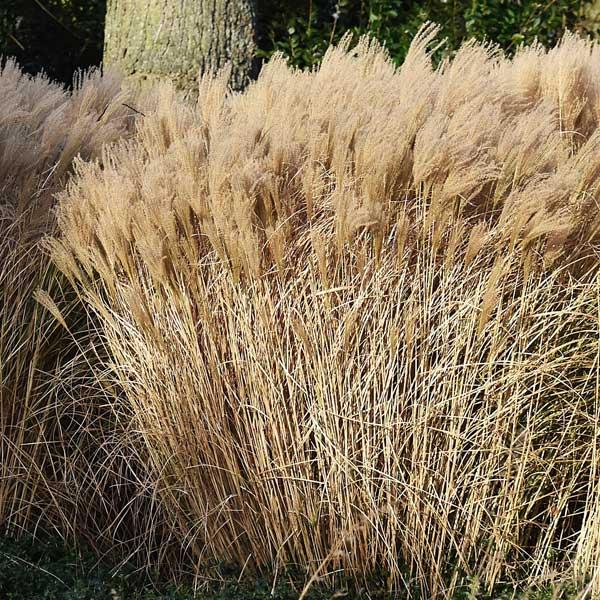 Malepartus Maiden Grass Image
